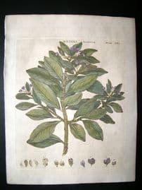 Encyclopaedia Britannica C1790 Hand Col Botanical Print. Wintera Aromatica