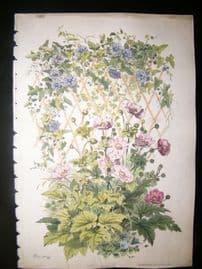 Eugene Blery C1855 LG Folio Botanical Print. Anemone, Lizeron, Louble 13