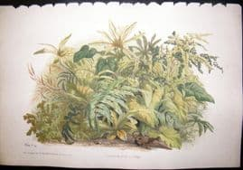 Eugene Blery C1855 LG Folio Botanical Print. Anthurium, Arum, Fougeres 6
