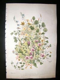 Eugene Blery C1855 LG Folio Botanical Print. Group au Strobilauthes 14