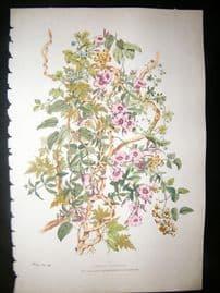 Eugene Blery C1855 LG Folio Botanical Print. Lianes et Alamanda 16