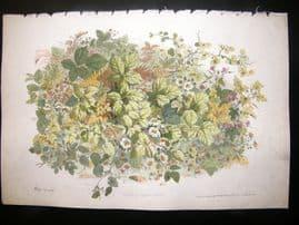 Eugene Blery C1855 LG Folio Botanical Print. Ronces et Plantes Variees 11