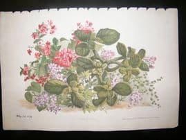 Eugene Blery C1855 LG Folio Botanical Print. Saxifrage, Begonia 12