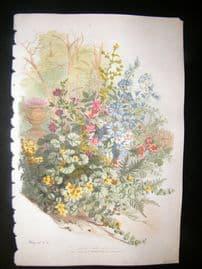 Eugene Blery C1855 LG Folio Botanical. Lysimachis, Chicoree, Mauve, Lychnis 9