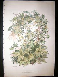 Eugene Blery C1855 LG Folio Hand Col Botanical Print. Inca, Dosternia 3