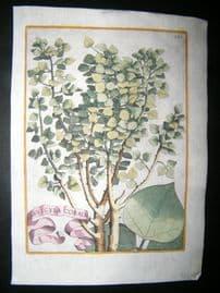 Ferrari 1633 Hand Col Botanical Print. Arbuscula Coralii 381