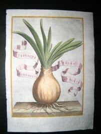 Ferrari 1633 Hand Col Botanical Print. Bulb of Narcissus 123