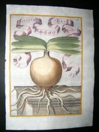 Ferrari 1633 Hand Col Botanical Print. Bulb of Narcissus 133