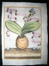 Ferrari 1633 Hand Col Botanical Print. Bulb of Narcissus 139