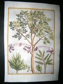 Ferrari 1633 Hand Col Botanical Print. Caious Moringa Tamarindus 387