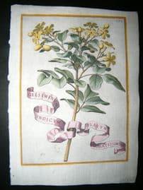Ferrari 1633 Hand Col Botanical Print. Gelsiminum Indicum 393