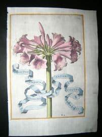 Ferrari 1633 Hand Col Botanical Print. Indian Narcissus 119