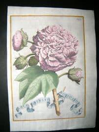 Ferrari 1633 Hand Col Botanical Print. Rosa Sinensis Foliosior. Rose 489