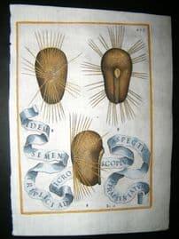 Ferrari 1633 Hand Col Botanical Print. Seeds 499