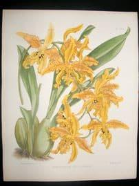Fitch & Warner Orchid Album 1880s Botanical. Odontoglossum Vuylstekeanum 334