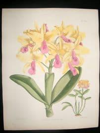 Fitch & Warner Orchid Album 1880s H/Col Botanical Print. Cattleya Bowringiana 323