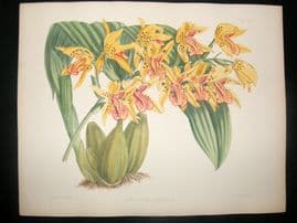 Fitch & Warner Orchid Album 1880s H/Col Botanical Print. Coelogyne Asperata 311