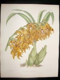 Fitch & Warner Orchid Album 1880s H/Col Botanical Print. Mormodes Pardinum 330