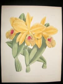 Fitch & Warner Orchid Album 1880s H/Col Print. Cattleya Eldorado Splendens 310