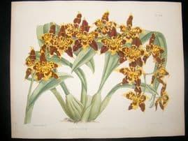 Fitch & Warner Orchid Album 1880s Hand Col Botanical Print. Acineta Humboltii 297