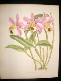 Fitch & Warner Orchid Album 1880s Hand Col Botanical Print. Cattleya Sororia 307