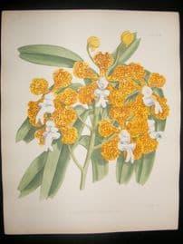 Fitch & Warner Orchid Album 1880s Hand Col Botanical Print. Vanda Suavis 324