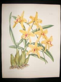 Fitch & Warner Orchid Album 1880s HC Botanical Print. Laelia Albida Sulphurea 320