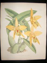 Fitch & Warner Orchid Album 1880s HC Botanical Print. Laelia Anceps Scottiana 325