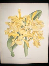 Fitch & Warner Orchid Album 1880s HC Botanical Print. Laelia Elegans Morreniana 331