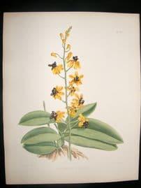 Fitch & Warner Orchid Album 1880s HC Botanical Print. Phalaenopsis Esmeralda 321