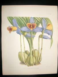 Fitch & Warner Orchid Album 1880s HC Botanical. Lycaste Plana Measuresiana 306