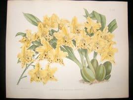 Fitch & Warner Orchid Album 1880s HC Print. Odontoglossum Pescatorei Germinyanum 305