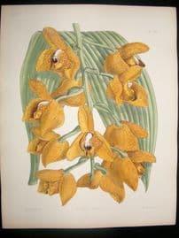 Fitch & Warner Orchid Album 1880s Odontoglossum Luteo-Purpureum Sceptrum 294