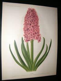 Florilegium Harlemense 1901 Antique Folio Botanical Print. Haydn Hyacinth