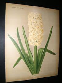 Florilegium Harlemense 1901 Antique Folio Botanical Print. Ida Hyacinth