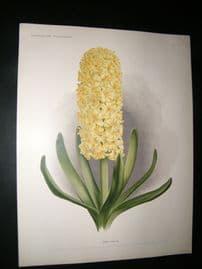 Florilegium Harlemense 1901 Antique Folio Botanical Print. Obelisque Hyacinth