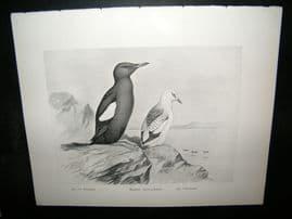 Frohawk 1898 Antique Bird Print. Black Guillemot