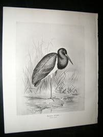 Frohawk 1898 Antique Bird Print. Black Stork