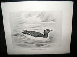 Frohawk 1898 Antique Bird Print. Brunnich's Guillemot