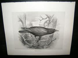 Frohawk 1898 Antique Bird Print. Carrion-Crow