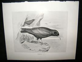 Frohawk 1898 Antique Bird Print. Chough