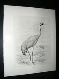 Frohawk 1898 Antique Bird Print. Crane