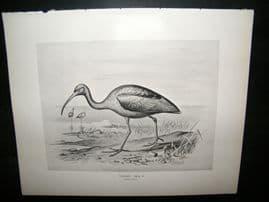 Frohawk 1898 Antique Bird Print. Glossy Ibis