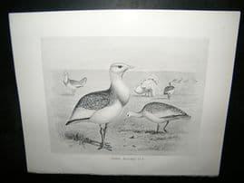 Frohawk 1898 Antique Bird Print. Great Bustard