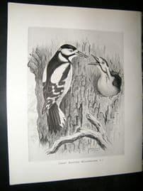 Frohawk 1898 Antique Bird Print. Great Spotted Woodpecker