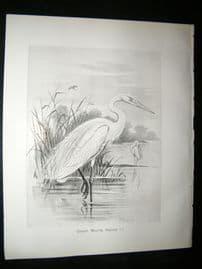Frohawk 1898 Antique Bird Print. Great White Heron