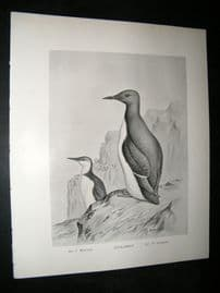 Frohawk 1898 Antique Bird Print. Guillemot
