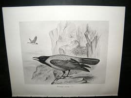 Frohawk 1898 Antique Bird Print. Hooded, Crow