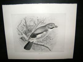 Frohawk 1898 Antique Bird Print. Jay