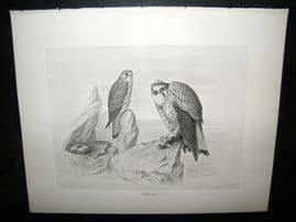 Frohawk 1898 Antique Bird Print. Kestrel